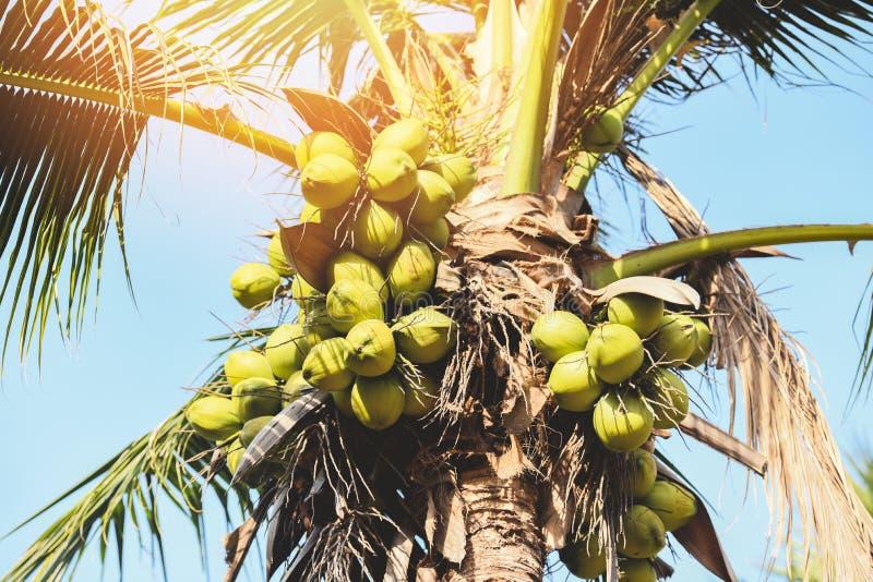Palmier de noix de coco et fruit de noix de coco dans le jardin tropical avec le ciel bleu et la lumière du soleil images stock