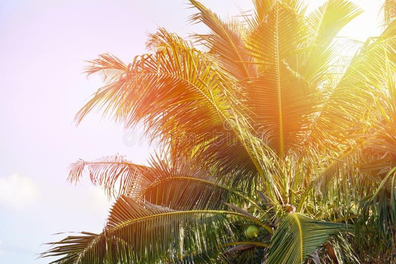 Palmier de noix de coco et fruit de noix de coco dans le jardin tropical avec le fond de ciel bleu et de lumière du soleil images stock
