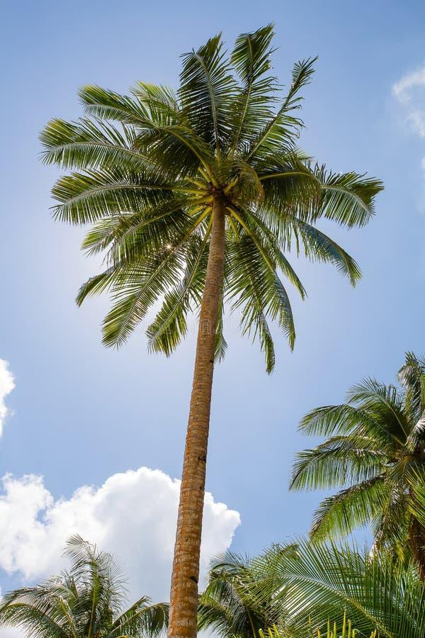Palmier de noix de coco image stock image du jungle - Palmier noix de coco ...