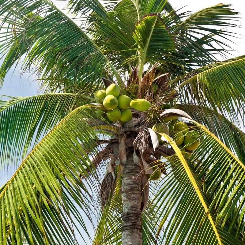 Palmier de noix de coco avec des noix de coco image stock - Palmier noix de coco ...