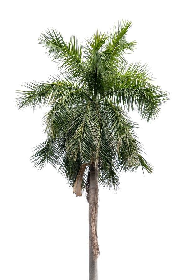 Palmier de noix de coco d 39 isolement sur le fond blanc - Palmier noix de coco ...