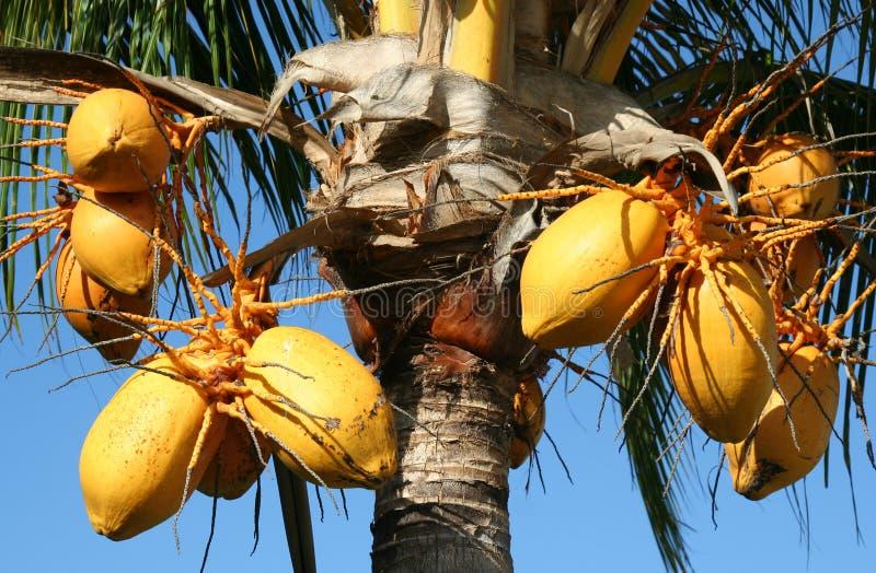 Palmier de noix de noix de coco photo stock image du - Palmier noix de coco ...