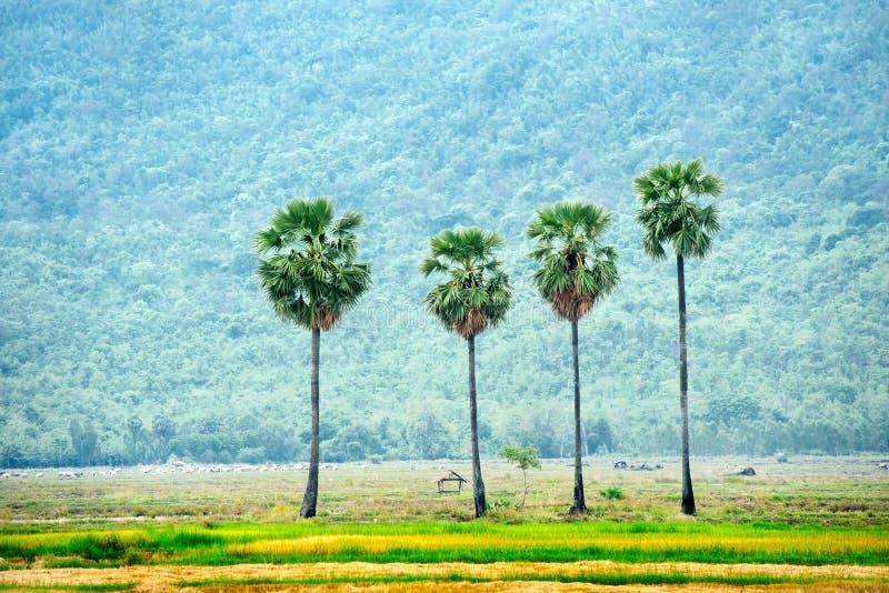 Palmier de sucre image stock