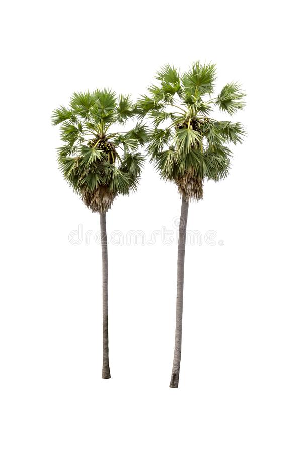 Palmier de sucre d'isolement sur le fond blanc photo stock