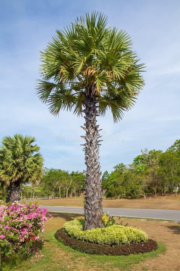 Download Palmier De Sucre Dans Le Jardin Photo stock - Image du objet, durée: 45363798