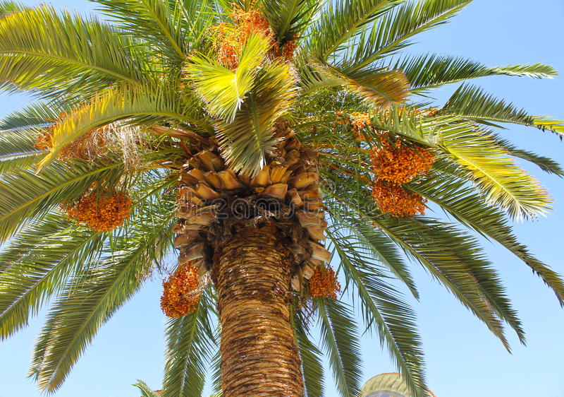 Palmier et dattes photo stock