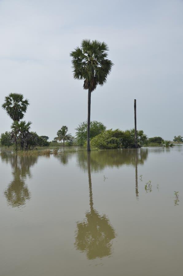 Palmier et ombre de sucre dans l'inondation photographie stock libre de droits
