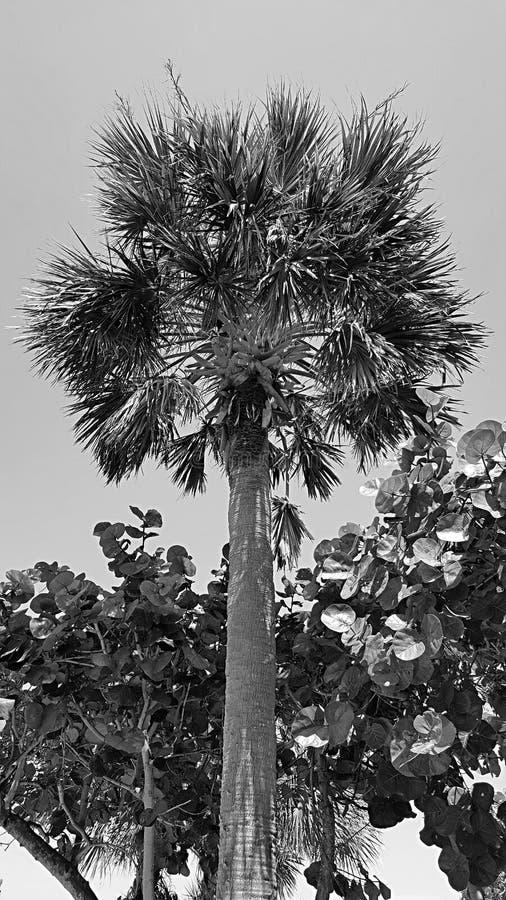 Palmier et palétuvier de B&W images libres de droits