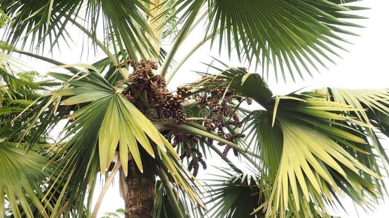 Palmier et récolte photo libre de droits