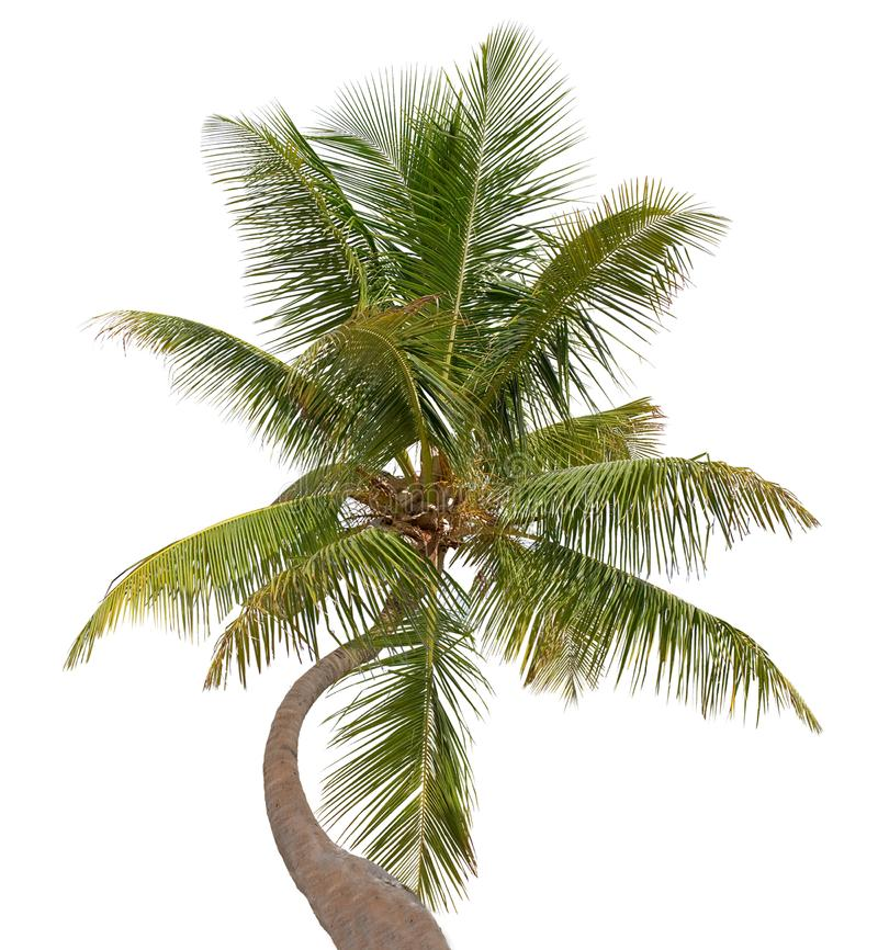 Palmier incurvé de noix de coco d'isolement sur le blanc photo libre de droits