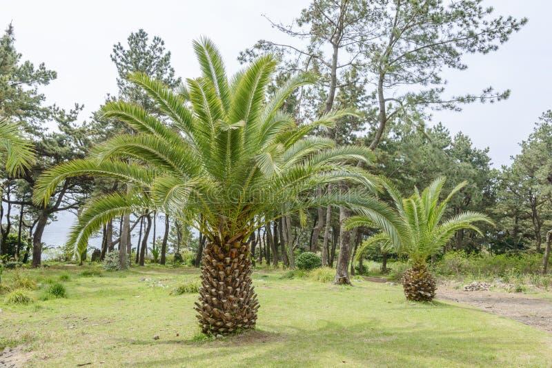 Palmier jaune canari photo libre de droits