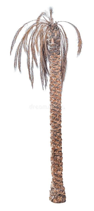 Palmier mort de date photos stock