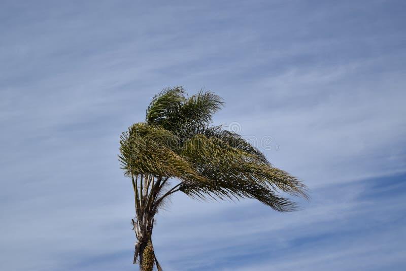 Palmier ondulant dans le vent contre un ciel bleu images libres de droits