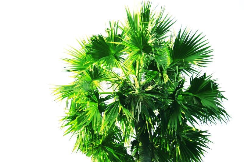 Palmier ou paume d'isolement de grog sur le fond blanc image stock