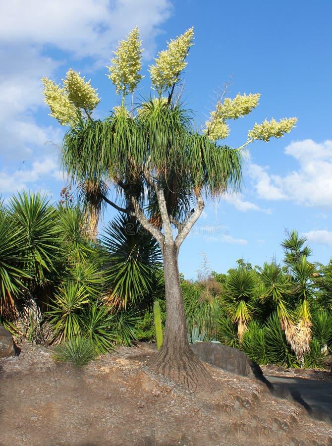 Palmier peu commun de tiges des fleurs s'élevant hors du dessus dans un jardin entouré par des yuccas avec le ciel bleu derrière photos libres de droits