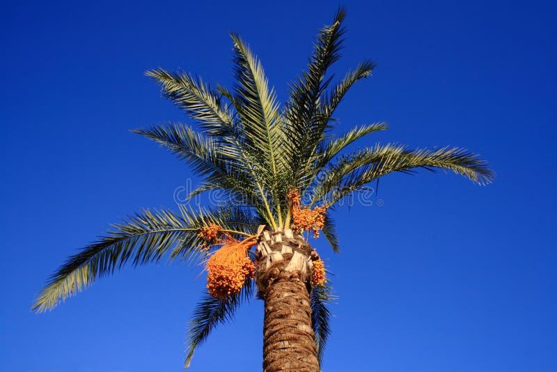 Palmier renversant avec le fruit jaune photographie stock