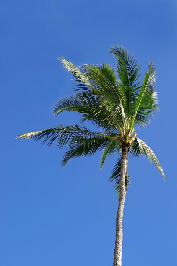 Palmier simple photographie stock libre de droits
