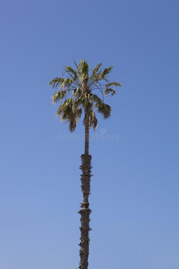 Palmier solitaire contre Azure Sky photo libre de droits