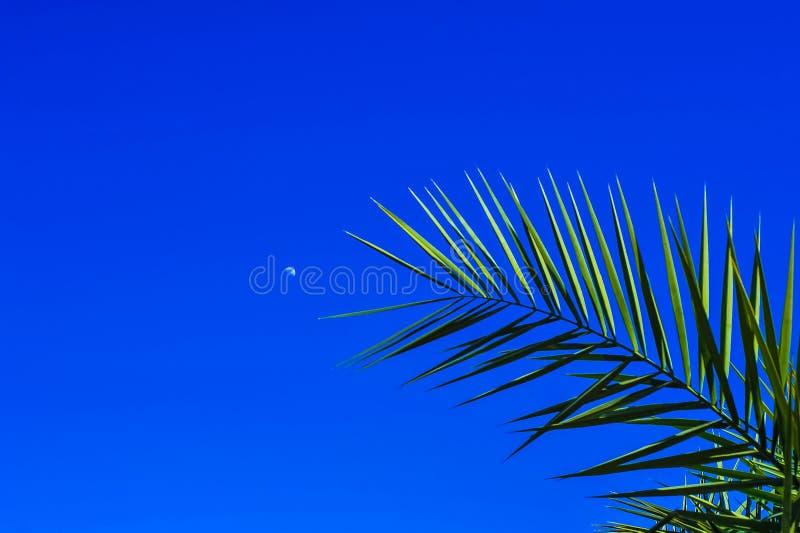 Palmier sur un fond de ciel bleu et d'une jeune lune photos stock