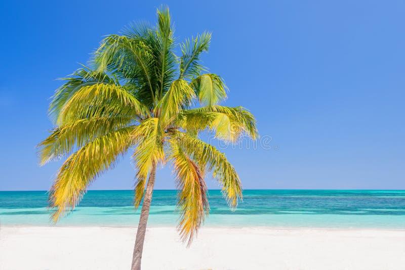 Palmier sur une plage, Cayo Levisa ; Cuba photographie stock libre de droits