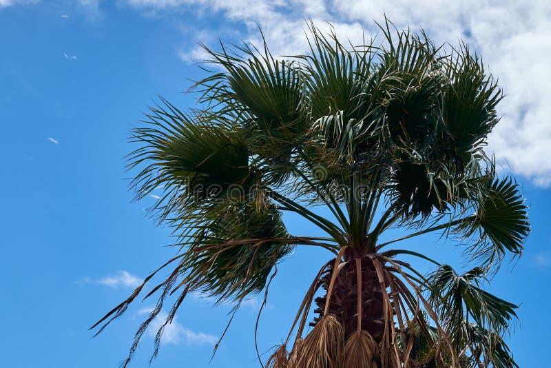 Palmier tropical de noix de coco à l'arrière-plan de ciel bleu images stock