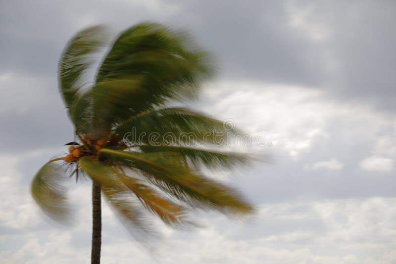 Palmier trouble dans le vent photo libre de droits