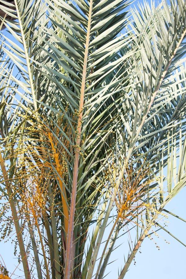 palmier Tunisie de datte de l'Afrique photographie stock libre de droits