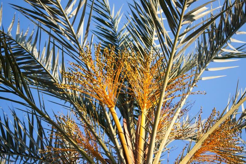 palmier Tunisie de datte de l'Afrique photographie stock