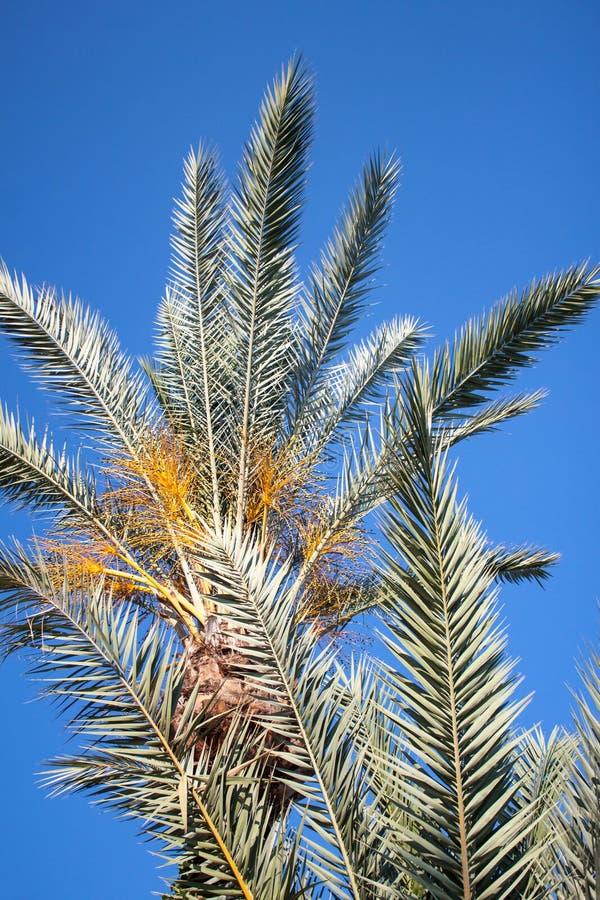 palmier Tunisie de datte de l'Afrique photos stock