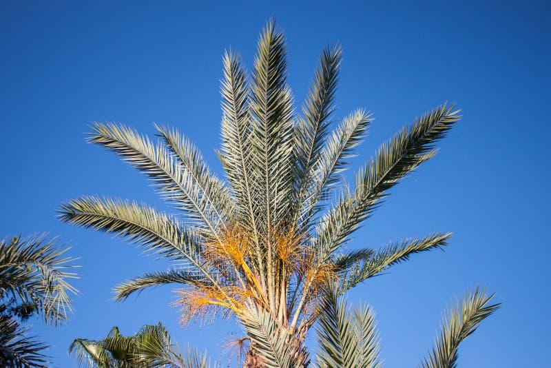 palmier Tunisie de datte de l'Afrique image stock