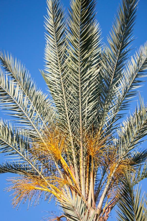 palmier Tunisie de datte de l'Afrique photo stock