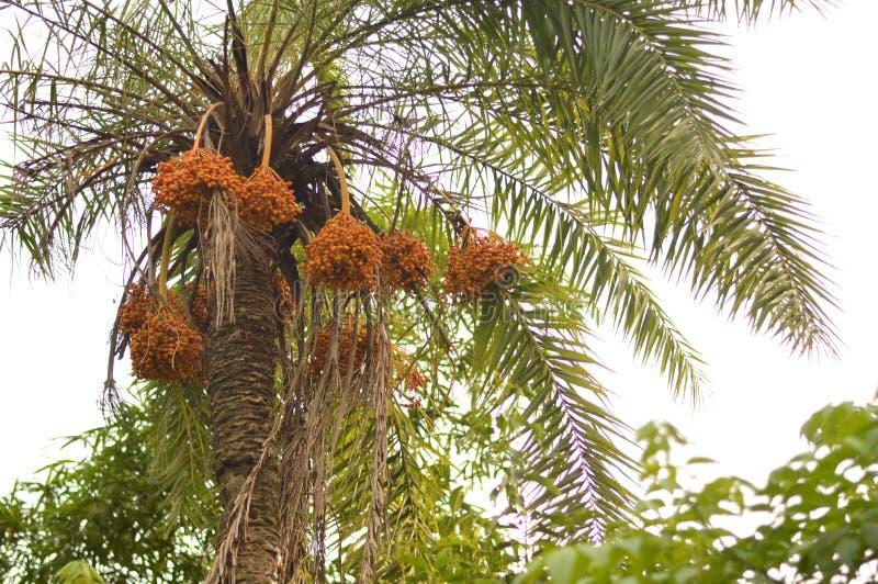 palmier Tunisie de datte de l'Afrique image libre de droits
