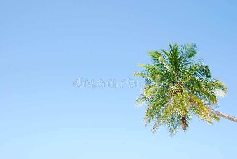 Palmier vibrant de noix de coco photo stock image du - Palmier noix de coco ...