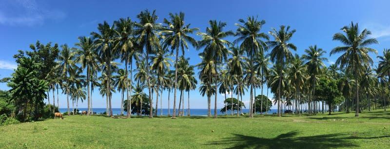 Palmiers à la plantation dans Lombok, Indonésie photos libres de droits