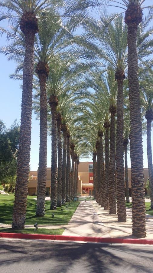 Palmiers à Phoenix photos libres de droits