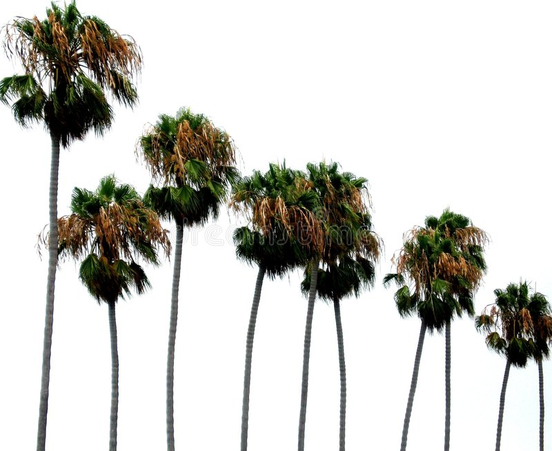 Palmiers photos libres de droits