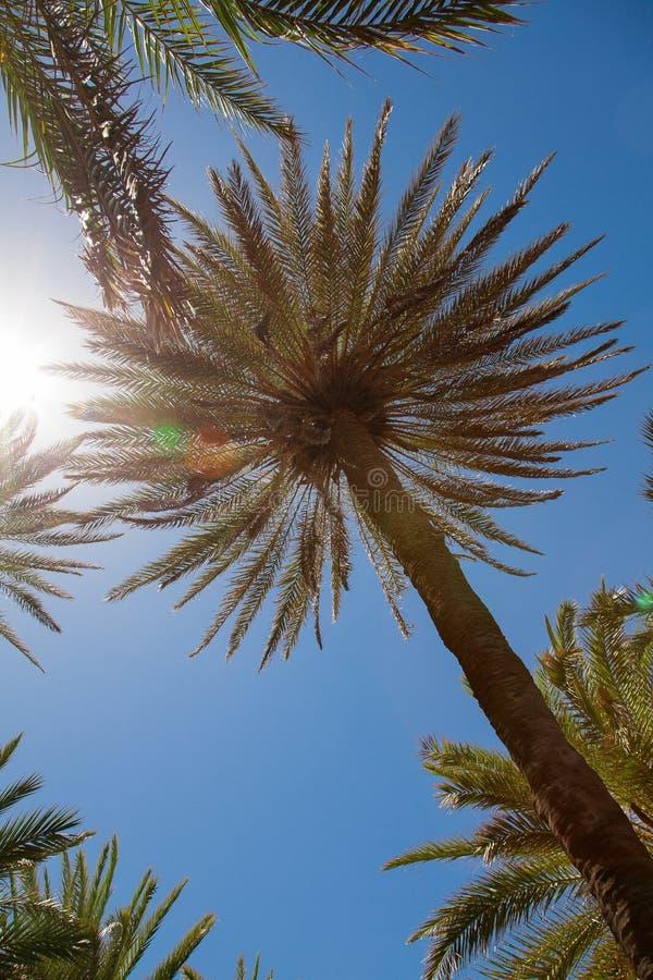 Palmiers au-dessus de ciel bleu image libre de droits