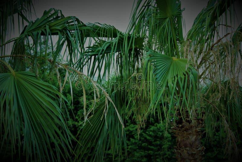 Palmiers balançant dans le vent photographie stock libre de droits