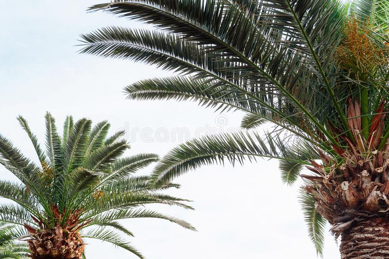 Palmiers contre le ciel image libre de droits