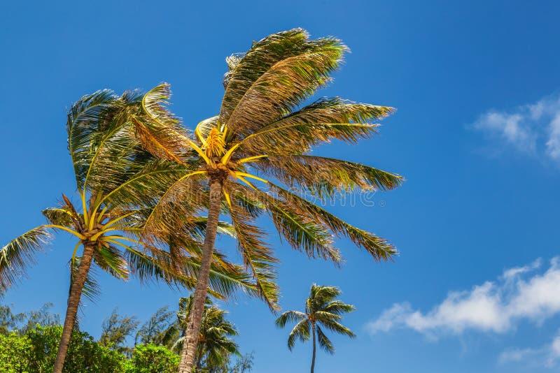 Palmiers dans le vent images stock