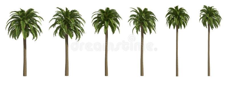 Palmiers dattiers jaunes canari illustration stock
