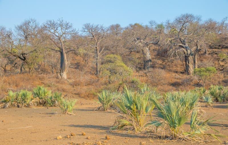 Palmiers de lala et baobabs dans le parc national Kruger en Afrique du Sud photographie stock