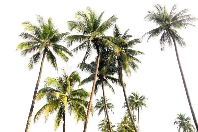 Palmiers de noix de coco en île tropicale d'isolement image libre de droits