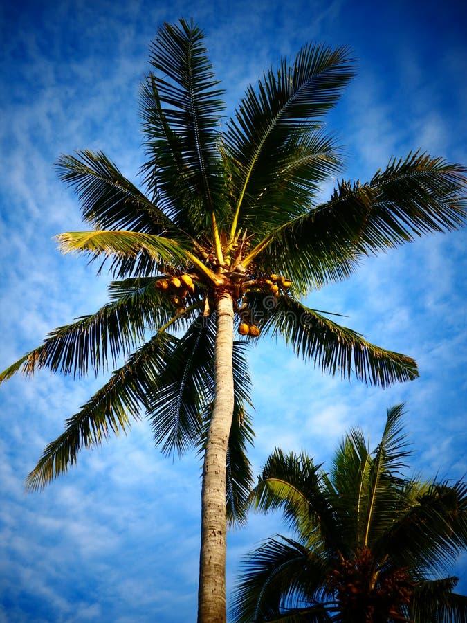 Palmiers de noix de coco photo stock image du bleu - Palmier noix de coco ...