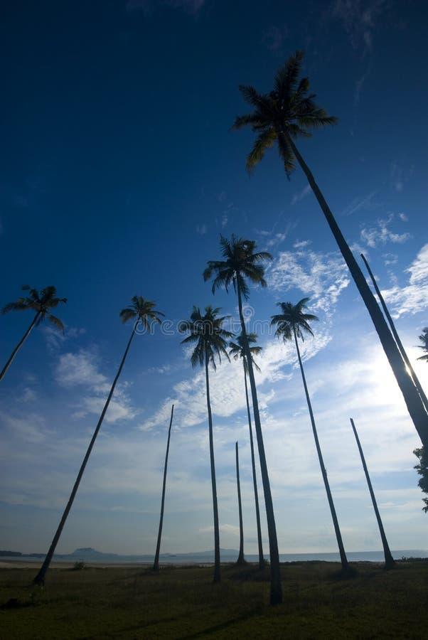 Palmiers de noix de coco atteignant à l'extérieur aux cieux photo libre de droits