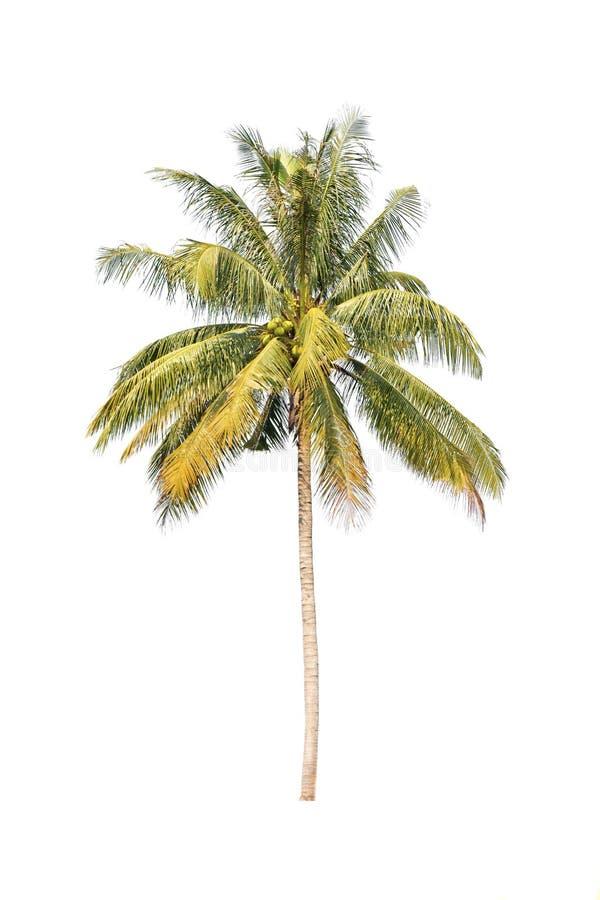 Palmiers de noix de coco d 39 isolement sur le fond blanc - Palmier noix de coco ...