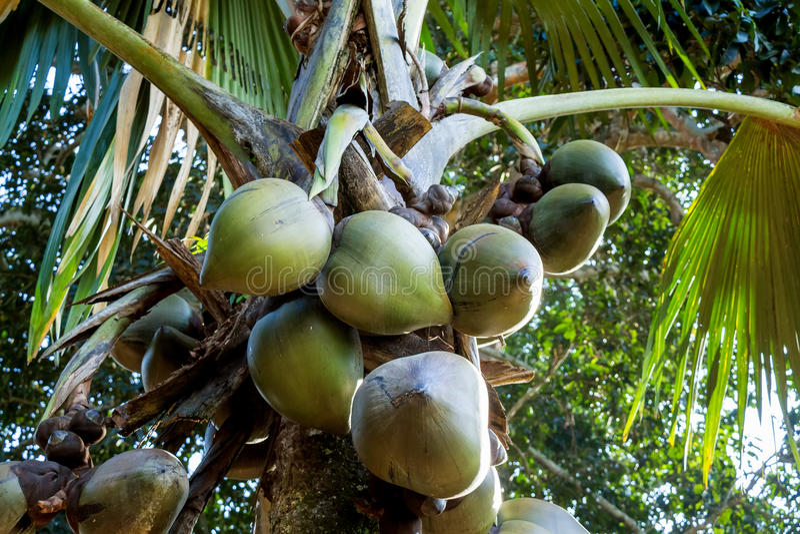 Palmiers de noix de coco de mer photo stock