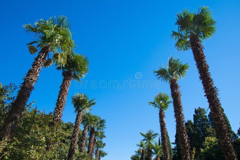Palmiers de rangée contre le ciel images libres de droits