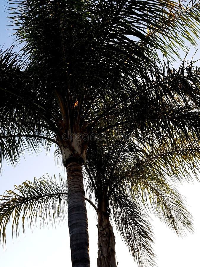 Palmiers de soirée photographie stock