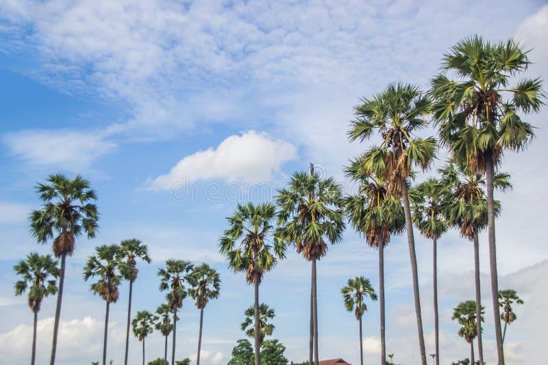 Palmiers de sucre photo stock